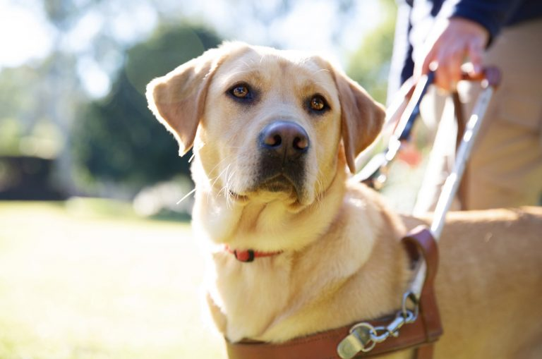 Close up of a Yellow labrador in harness.