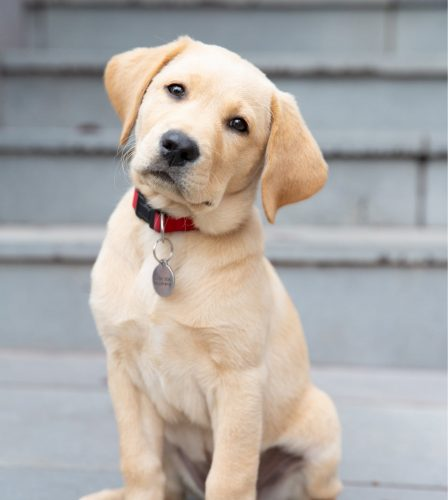 A yellow sixteen week old puppy sitting looking at the camera. The puppy is tilting its head to the right.