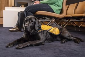 A Black Labrador, Zero, wearing a yellow jacket laying on the floor in a courtroom at the feet of a person sitting in a chair.